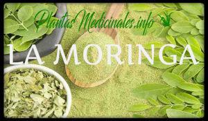 la moringa plantas medicinales