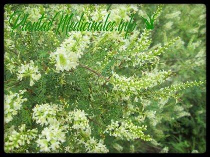 palo azul planta medicinal