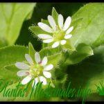 pamplina planta medicinal