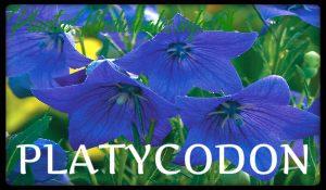 plantas medicinales platycodon