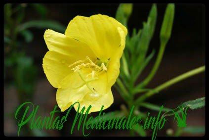primavera planta medicinal