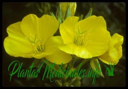 primavera propiedades curativas