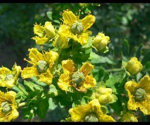 planta medicinal ruda