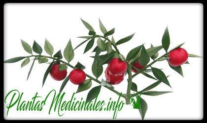 propiedades medicinales del rusco