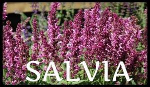 plantas medicinales salvia