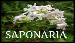 plantas medicinales saponaria