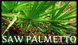 saw palmetto plantas medicinales