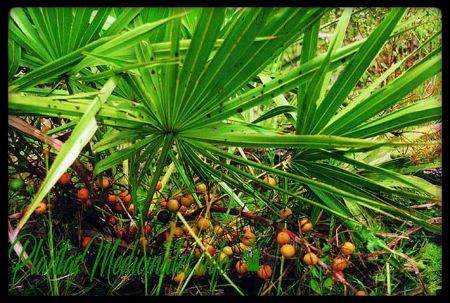 planta medicinal saw palmetto