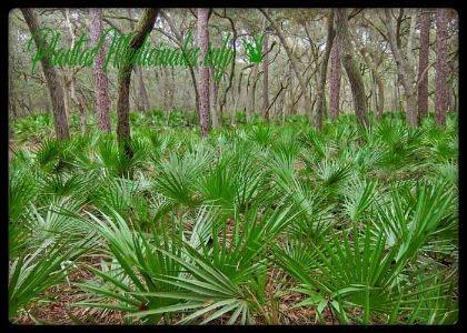 palma enana americana planta medicinal