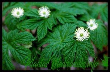 sello de oro planta medicinal
