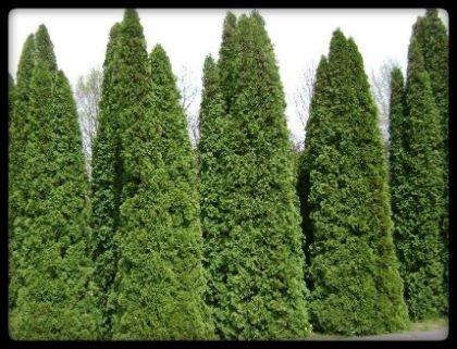 thuja plantas medicinales