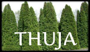 plantas medicinales thuja