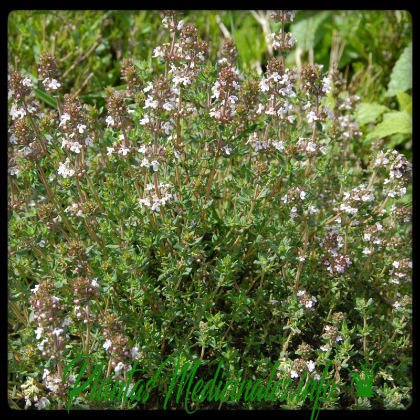 planta medicinal tomillo
