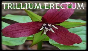 plantas medicinales trillium erectum
