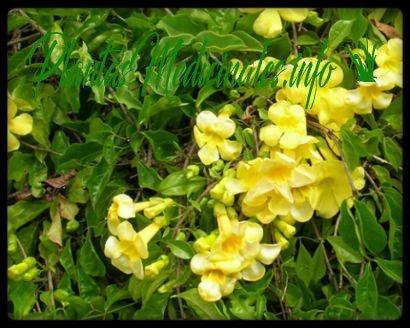 uña de gato planta medicinal