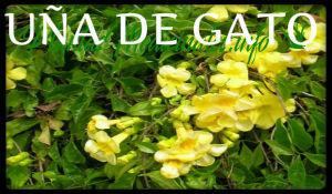 plantas medicinales uña de gato