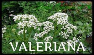 valeriana plantas medicinales
