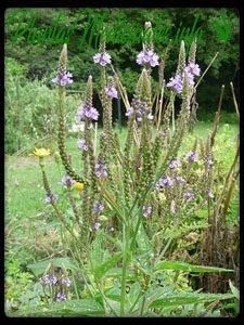 verbena planta medicinal usos