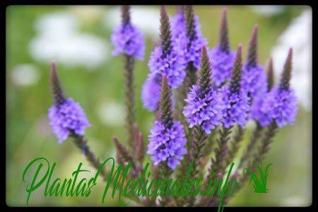 verbena planta medicinal