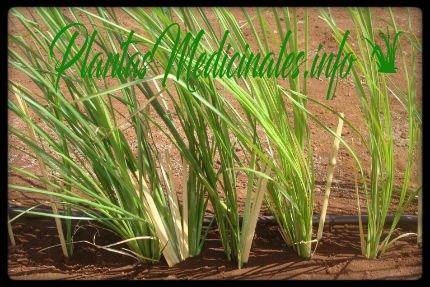 vetiver planta medicinal