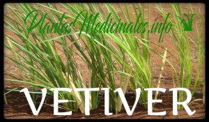 plantas medicinales vetiver